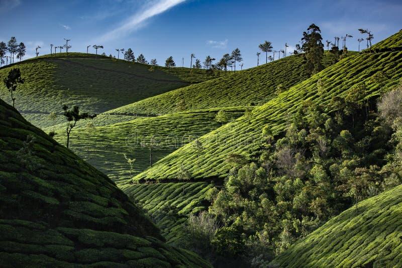 Tea plantation from Munnar Kerala royalty free stock photography