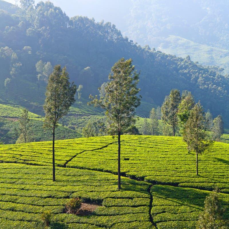 Tea Plantation In Munnar, Kerala, South India Stock Photo ...