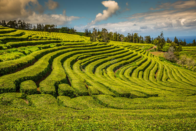 Tea plantation in Porto Formoso. Amazing landscape of outstanding natural beauty. Azores, Portugal Europe. royalty free stock image