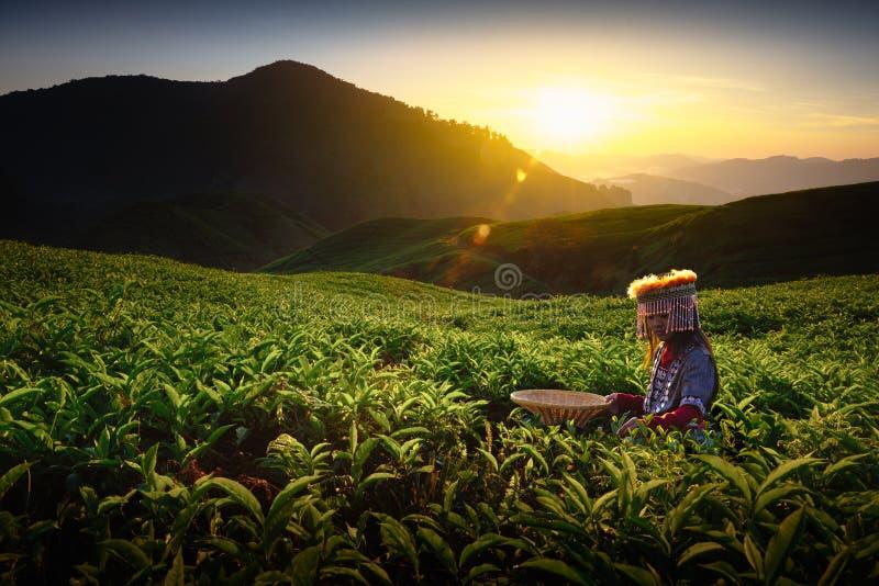 Tea plantation. Sunrise over Sungai Palas tea plantation in Cameron Highlands with child girl tribal , Pahang, Malaysia royalty free stock photo