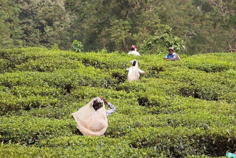 Tea plantation, West Bengal, India stock photos