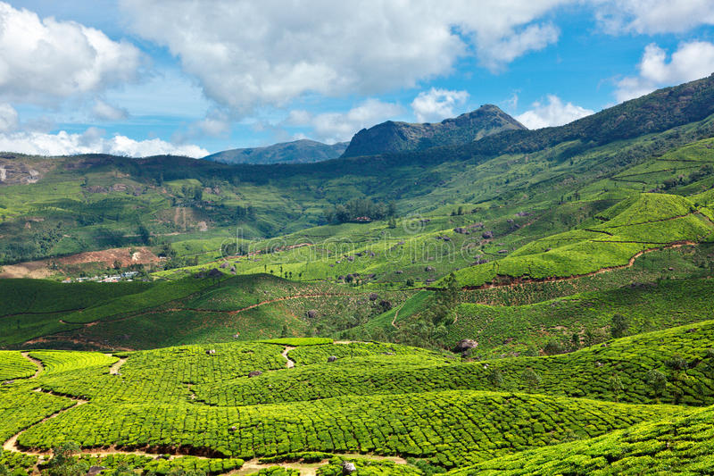 Tea plantations. In Munnar, Kerala, India royalty free stock photos