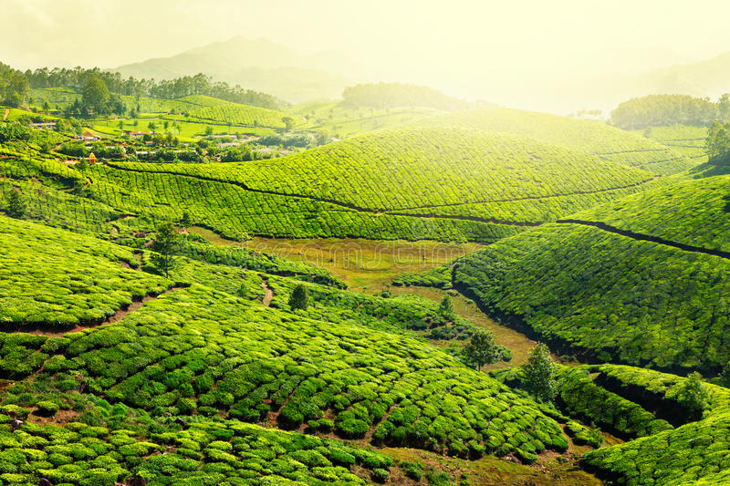 Tea plantations. In morning fog. Munnar, Kerala, India royalty free stock image