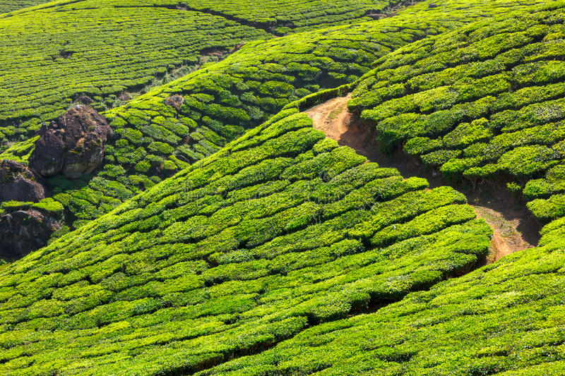 Tea plantations. In Munnar, Kerala, India stock photo