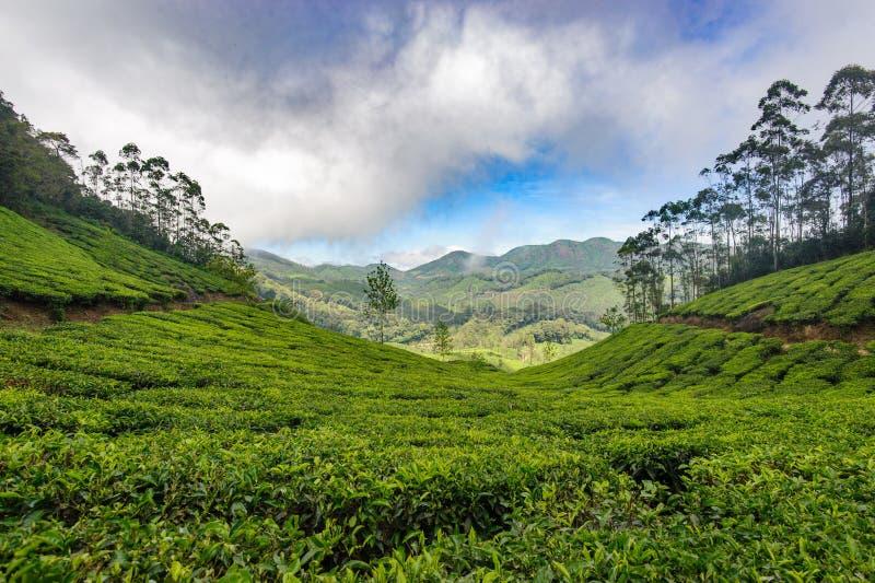 Tea plantations around Munnar, tea estate hills in Kerala. State, Idukki district, India royalty free stock images