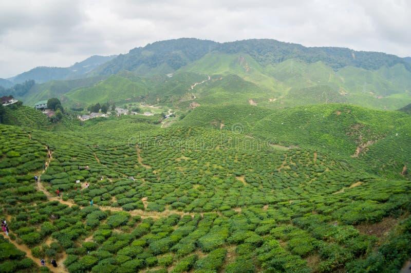 Tea Plantations Cameron Highlands. Malaysia stock photography