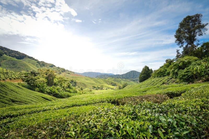 Tea plantations in Cameron Highlands, Malaysia. Beautiful landscape of the tea plantations in the Cameron highlands, Pahang State, Malaysia. Southeast Asia royalty free stock photos