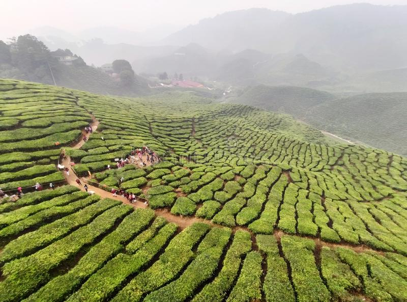 Tea plantations in Cameron Highlands, Malaysia stock images