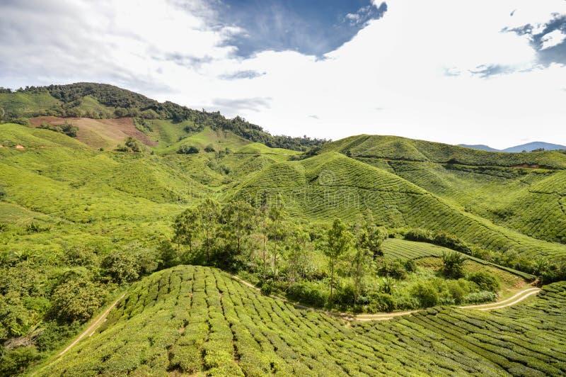 Tea plantations in the Cameron highlands, Pahang State, Malaysia. Southeast Asia. Beautiful landscape of the tea plantations in the Cameron highlands, Pahang stock image