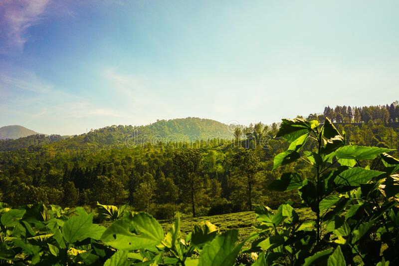 Tea plantations with green color and beautifull landscape as background stock image