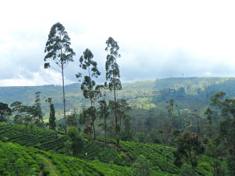 Tea plantations in the hill country stock photography
