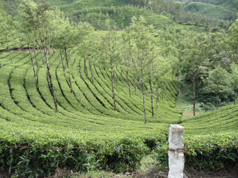 Tea plantations royalty free stock photography