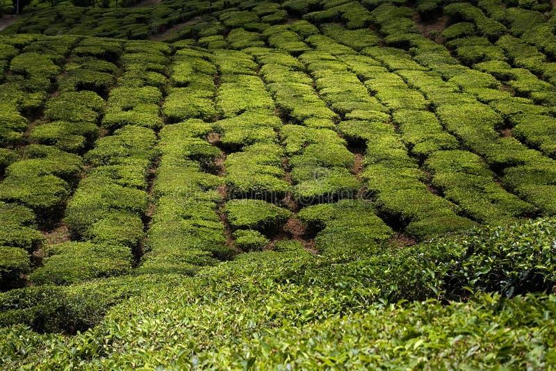 Tea plantations in malaysia, cameron highlands royalty free stock photos