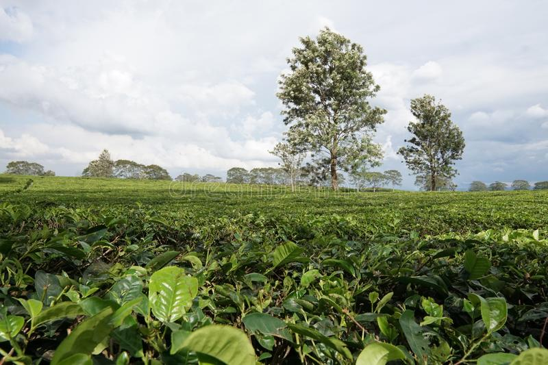 Tea Plantations at Medan Indonesia. Cloudy scenery with two big tree. Green tea farm. Industry plantation stock photos