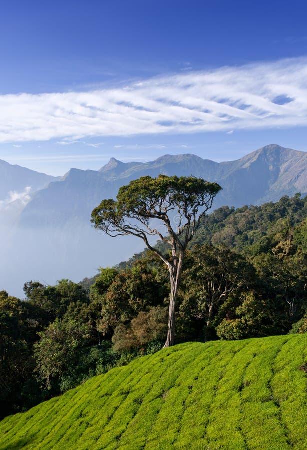 Tea Plantations In Munnar, Kerala, India Stock Photo ...