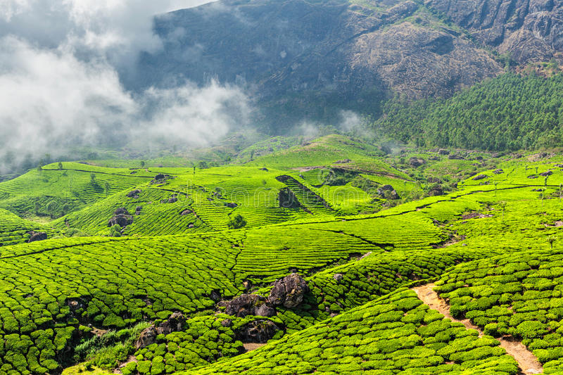 Tea plantations, Munnar, Kerala state, India. Green tea plantations in the morning, Munnar, Kerala state, India stock image