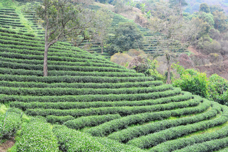 Download Tea plantations stock image. Image of fitness, chiang - 76868679