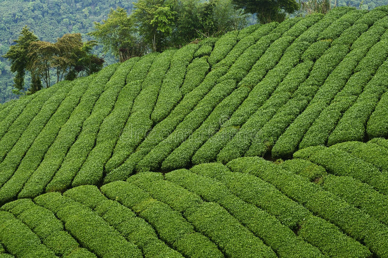 Tea Plantations. This tea Plantations Oolong is located in Chayi country of Taiwan stock images