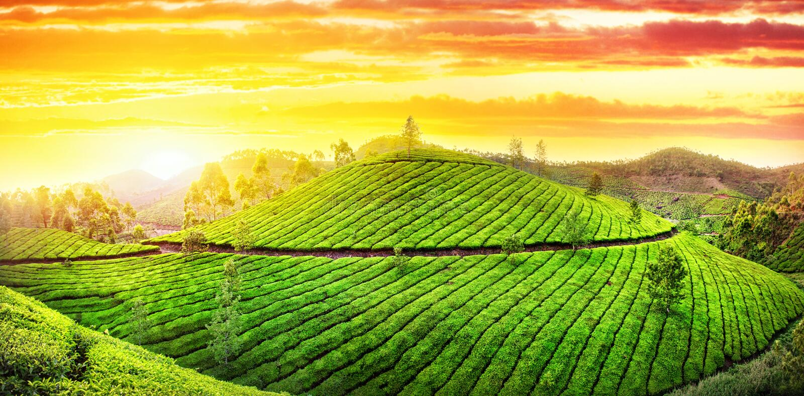 Tea plantations panorama. Panorama of Tea plantations hills at sunset sky in Munnar, Kerala, India royalty free stock photography