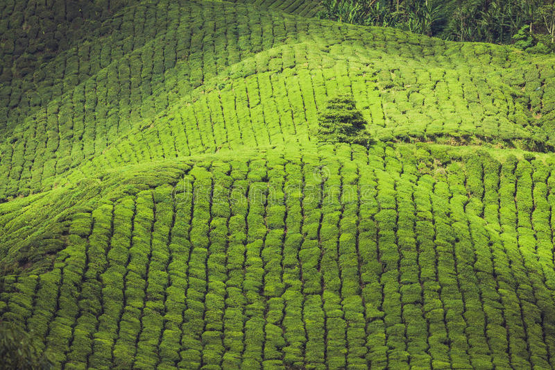 Tea plantations in state Kerala, India. Kerala India travel background - green tea plantations in Munnar, Kerala, India - tourist attraction stock images
