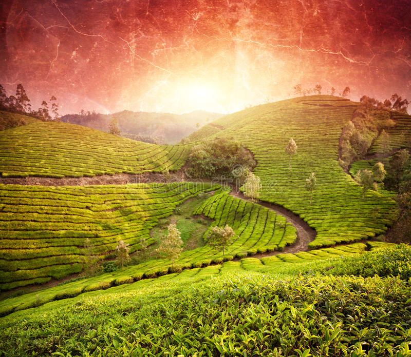 Tea plantations at sunset. In Munnar hills, Kerala, India stock images