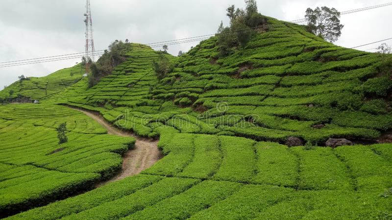 Tea plantations walini, Ciwalini, Bandung, indonesia royalty free stock photo