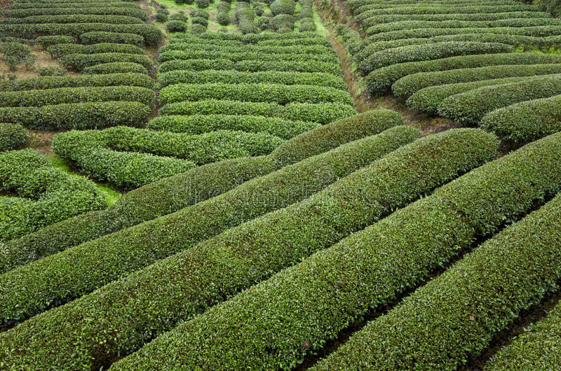 Tea Plantations. At WuYiShan(WuYi Mountain), a famous Oolong tea producing area. Nanping city, Fujian province, China stock images
