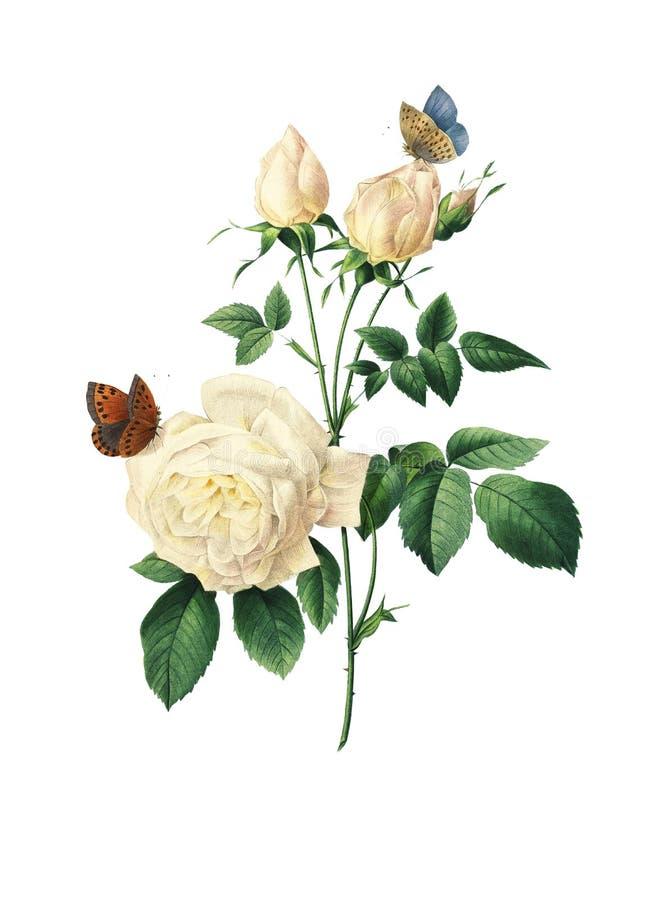 Tea rose Antique Flower Illustration. 19th-century illustration of a tea rose. Engraving by Pierre-Joseph Redoute. Published in Choix Des Plus Belles Fleurs vector illustration