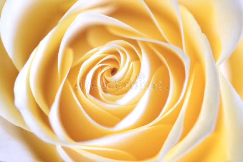 Tea rose close-up stock image