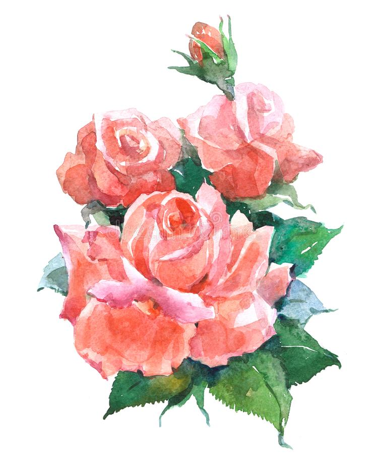 Tea rose plant Watercolor illustration isolated. On white background vector illustration