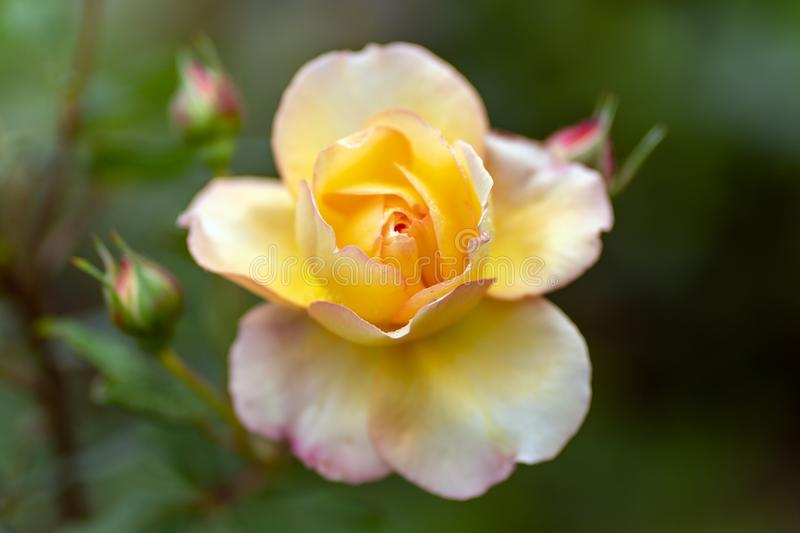 Tea rose in soft focus and with rain drops close up stock photo