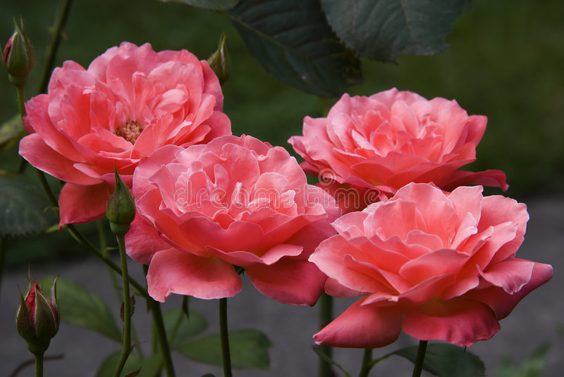 Tea Roses royalty free stock photos