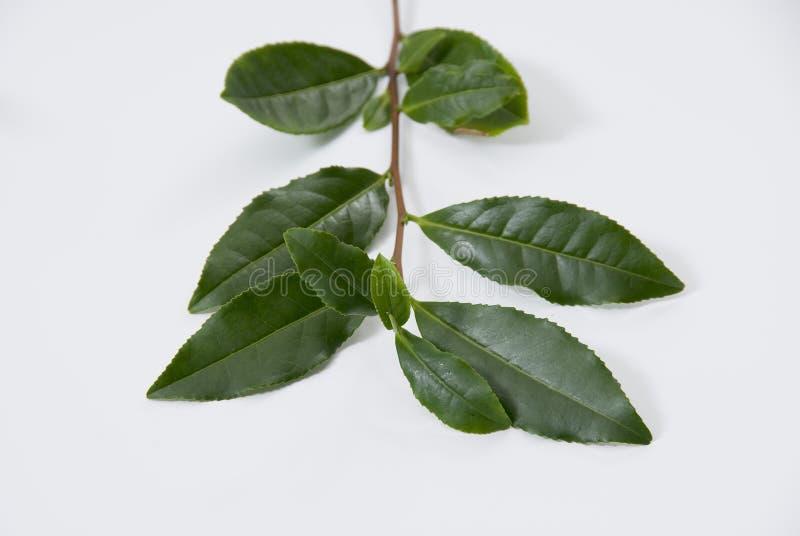 Tea sprig. Green tea sprig isolated on white background stock image