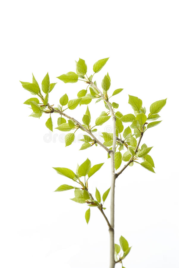 Download Tea tree stock photo. Image of nature, isolated, sprout - 9387072
