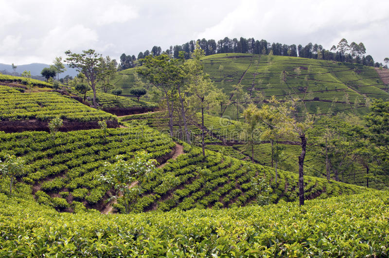 Download Tea Tree Field Royalty Free Stock Image - Image: 22775496
