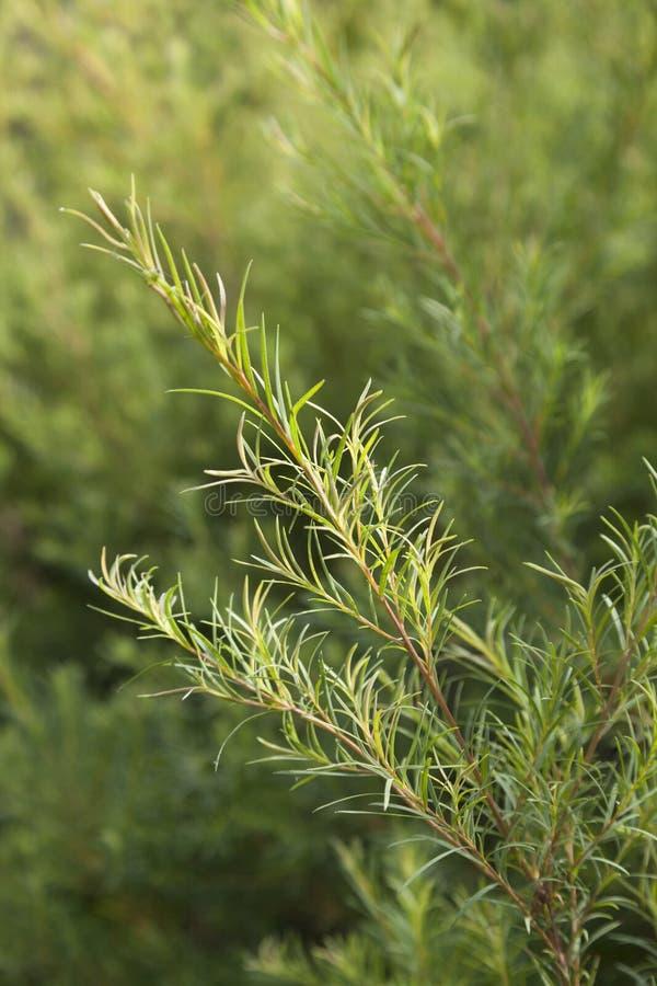 Tea tree sprig. Sprig of a Tea tree plant stock images