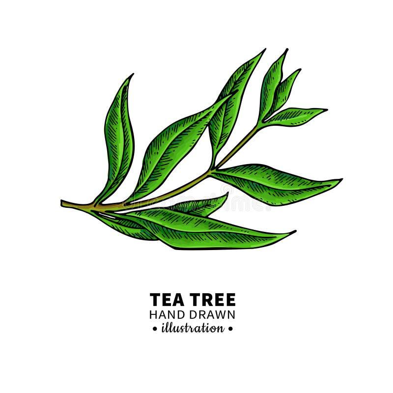 tea tree leaf drawing stock illustrations 2 260 tea tree leaf drawing stock illustrations vectors clipart dreamstime tea tree leaf drawing stock
