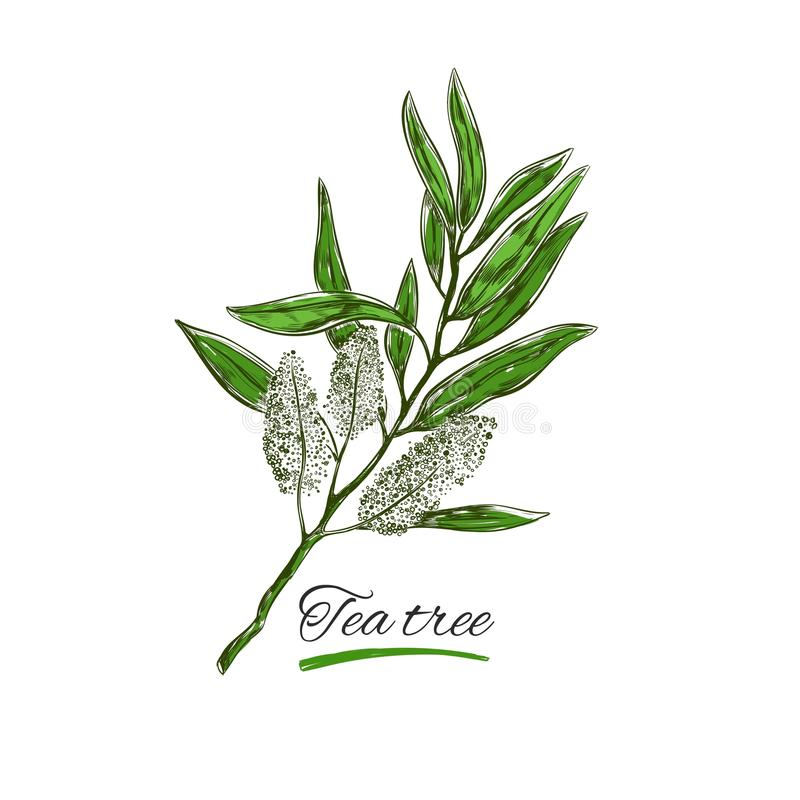 Tea tree. Vector. Natural herbs and flowers. Organic cosmetics. Tea tree. Vector hand drawn. Natural herbs and flowers. Organic cosmetics royalty free illustration