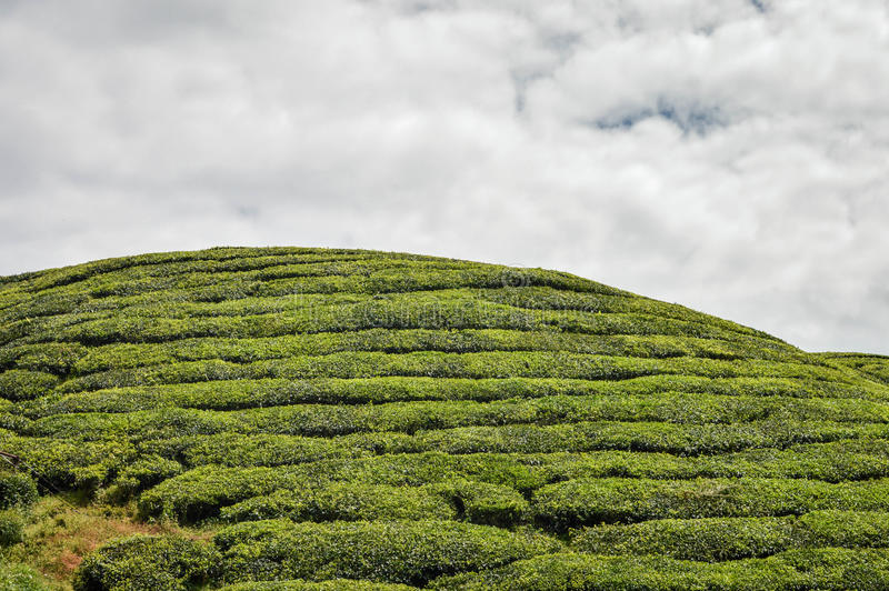 Tea trees at the plantations in Cameron Highlands, Malaysia. Close up of the hill with tea trees at the plantations in the Cameron highlands, Pahang State stock photo