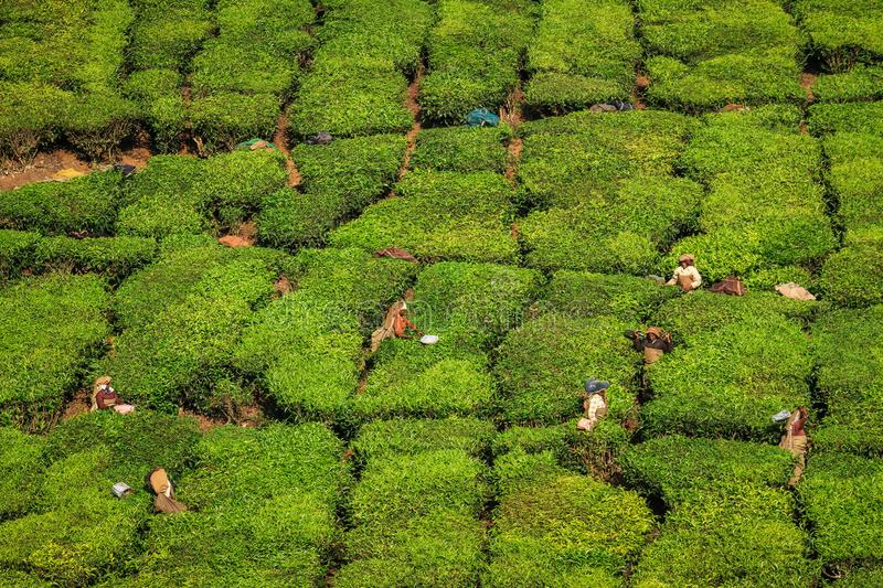 Tea workers harvesting tea in the green lush tea plantation hills and mountains around Munnar, Kerala, India. Munnar is a town and hill station located in the royalty free stock photos