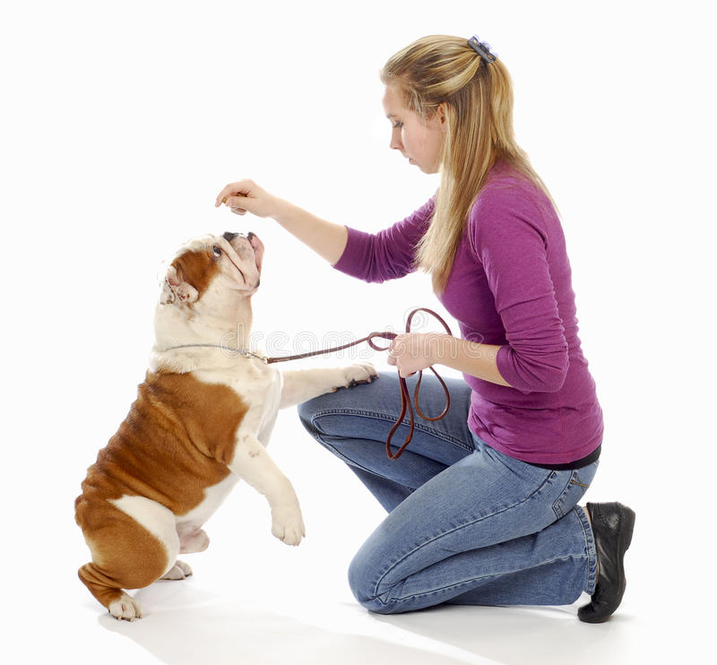 Teaching a dog to sit pretty. English bulldog being taught by owner to sit pretty on white background stock photography