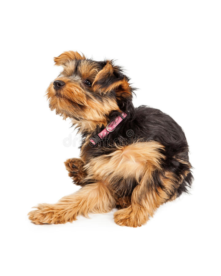Teacup Yorkie dog sitting and scratching and itch. A cute Teacup Yorkie puppy sitting down and scratching and itch royalty free stock photos