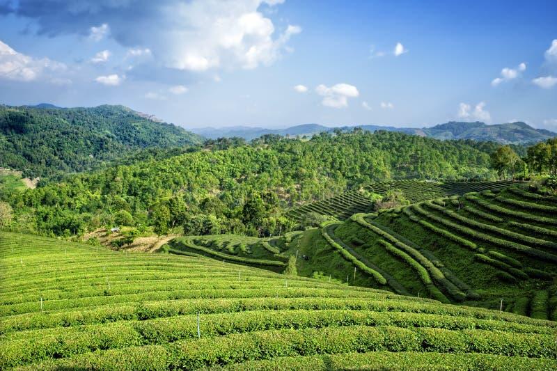 Teafield na montanha de Mae Salong, Chiang Rai, Tailândia imagens de stock