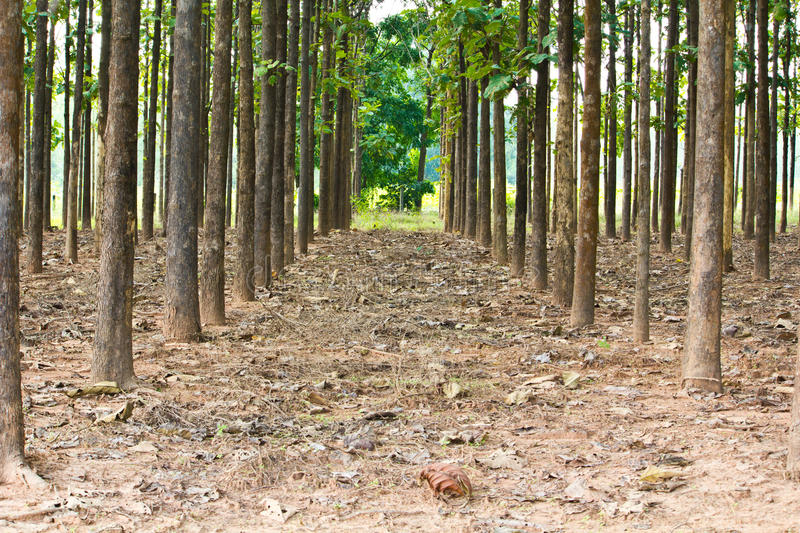 Teak. Trees in an agricultural forest in bright afternoon sunlight royalty free stock photos