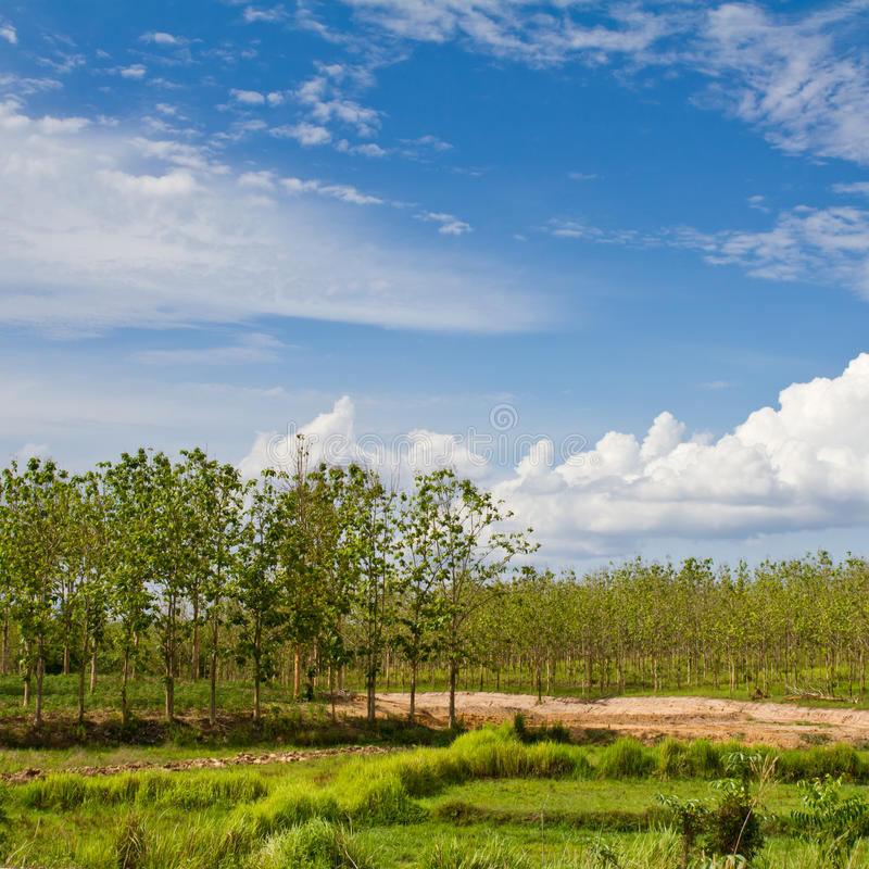 Teak forest. Teak farm in countryside of Thailand royalty free stock photography