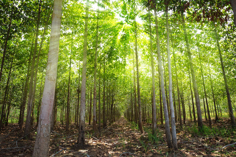 Teak forests. To the environment stock photo