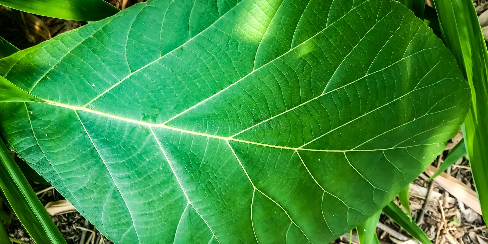 Teak leaves in the forest royalty free stock photo