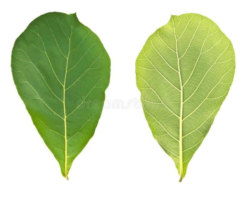 Teak leaves (Front and rear) royalty free stock photos