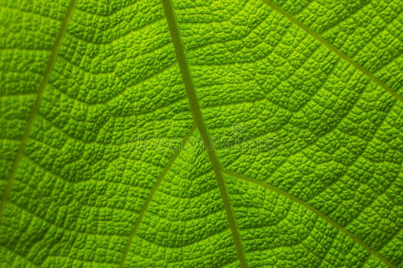 Teak leaves pattern NO.01. The leaves of teak to a strange pattern. Teak Tectona grandis is a tropical hardwood tree species placed in the flowering plant family royalty free stock photos