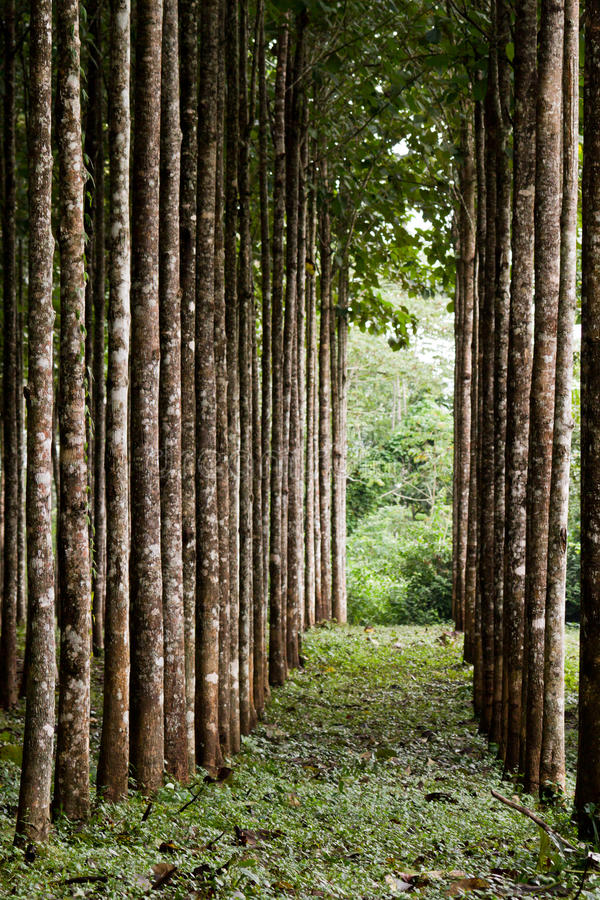 Teak plantation. In the rainforest of Belize royalty free stock images